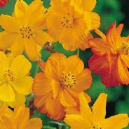 Cosmos Bright Lights Mix - 120 seeds